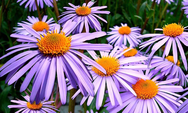 Flowers - Asters.